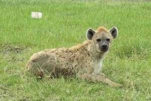 Пятнистая гиена (Crocuta crocuta) Фото: Daryona / Wikimedia Commons