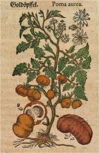 Рисунок конца XVI века из немецкой редакции «Комментариев» Пьетро Маттиоли, изображающий растение томата с гигантскими плодами. (Фото The Natural History Museum Botany Library.)