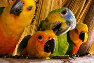 Попугаев отличают нейроны, размещенные вокруг голосовых центров в их мозгу. Фото: ©flickr.com/Cristiano Oliveira
