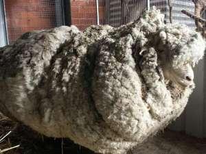 В Австралии под наркозом остригут одичавшего мериноса, чьей жизни угрожает переизбыток шерсти. Фото: Tammy Ven Dange (@tvendange) | Твиттер