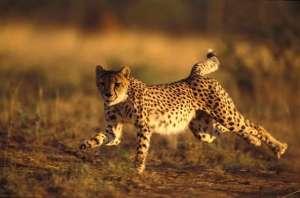 Азиатский гепард. Фото: http://droplak.ru