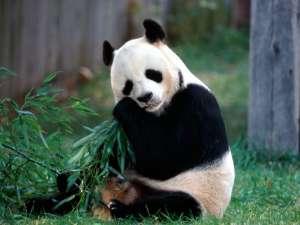 Панда. Фото: http://www.fondosya.com