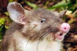 Свиноносая крыса. Фото: музей Виктория