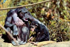 Процесс «коллективного материнства» у шимпанзе проходил, в частности, так: сестра обезьяны-матери поддерживала тело детеныша в то время как та кормила его грудью. Фото: ©flickr.com/Toshihiro Gamo