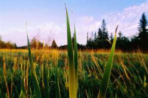 Глядя на зелёный луг, мы и не подозреваем, какая борьба разворачивается между растениями под землёй. (Фото Jay Dickman / CORBIS.)