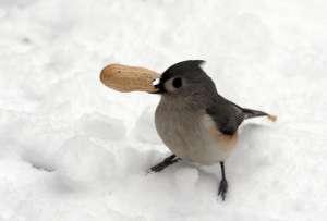 Многие птицы готовы пожертвовать едой во время зимы, чтобы остаться рядом со своими половинками. Фото: ©flickr.com/Dawn Huczek