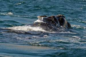 Доминиканская чайка на ките. Фото: Nestor Galina
