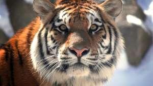 Амурский тигр. Фото: http://www.artleo.com/