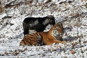 Амур и Тимур. Фото: Приморский Сафари-парк