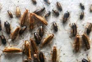 Фекальные тусовки, бактериальные ароматы: чтобы победить тараканов, их придется изучить и понять. Фото: ©Ayaka Wada-Katsumata/Coby Schal