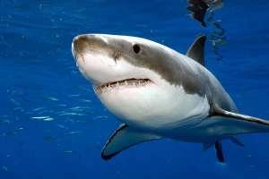 Акула. Фото: http://animalbox.ru