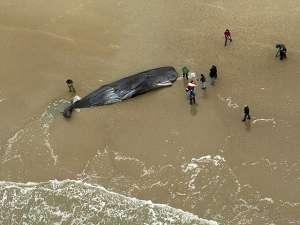 В Северном море за прошедшую неделю 12 кашалотов выбросились на берег пляжей, расположенных на территории Германии и Нидерландов. Фото: Reuters