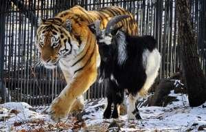 Амур и Тимур. Фото: http://www.interfax.ru