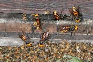 Гигантские индийские пчелы. Фото: http://klop911.ru