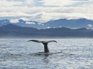 """Комментируя запущенную на порносайте акцию с теглайном """"Сбрось давление"""", президент MSC Кен Балкомб напомнил, что киты и дельфины, наряду с людьми, способны заниматься сексом не только ради продолжения рода. Фото: Global Look Press"""