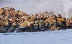 Моржи на Чукотке. Фото: http://www.arctic-info.ru