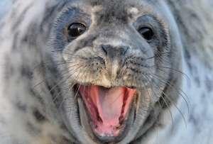 В течение недели тюлень съел пять щенков. Фото: ©flickr.com/Kev Chapman