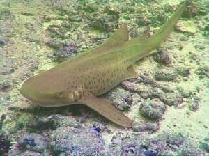 Зебровая акула. Иллюстрация wikipedia.org