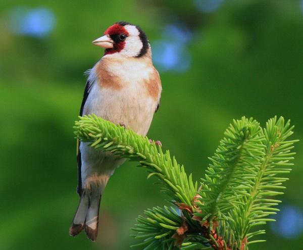 Фотофакт: Щеглы - европейские попугайчики - новости экологии на ...