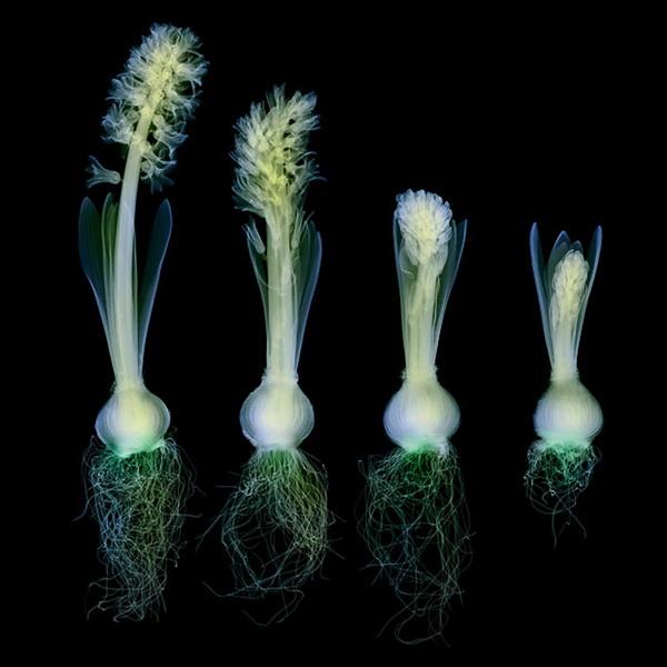 Цветы в рентгеновских снимках