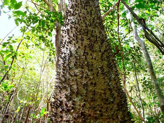Самые колючие деревья на планете