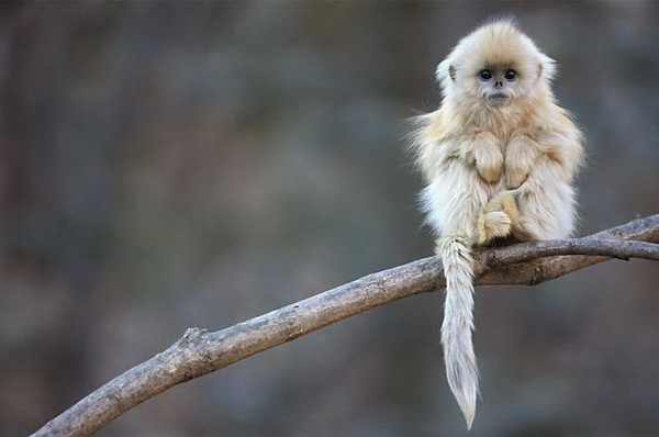 Китайская курносая снежная обезьяна