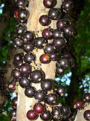 Джаботикаба - удивительное дерево