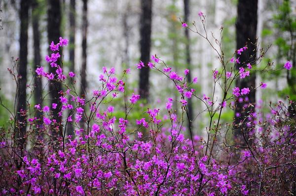 Цветение багульника