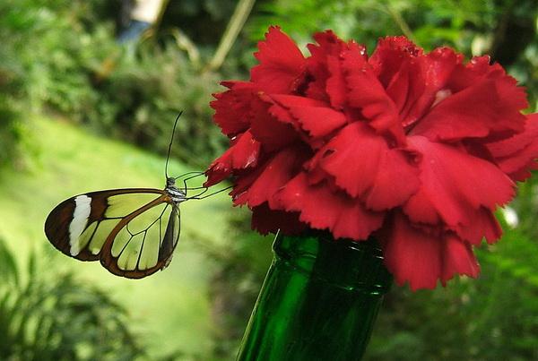 """Greta oto - удивительная бабочка со """"стеклянными"""" крыльями"""