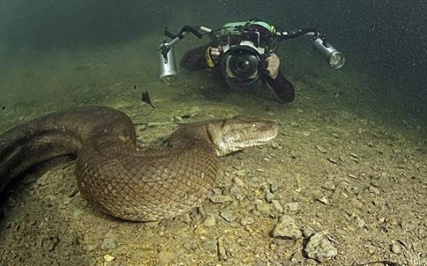 Уникальные фото анаконды под водой