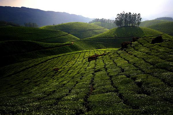 Зеленые ковры чайных плантаций в Индии