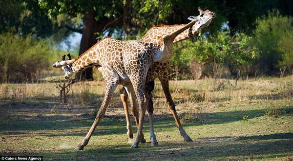 Жирафье танго