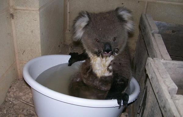 Интересные факты о коалах