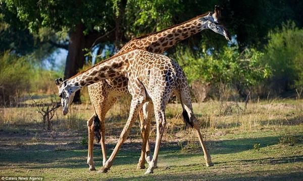 Танго в исполнении жирафов
