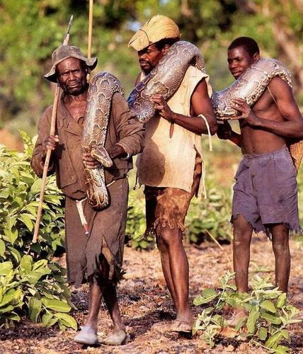 Фотофакт: Ловля питона на живца
