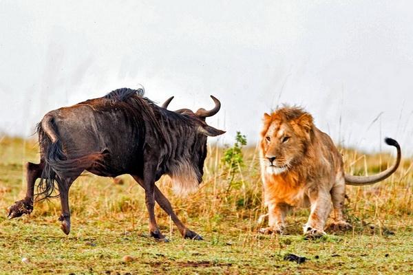 Фотофакт: Драматические кадры охоты льва на гну
