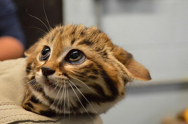 Фотофакт: 12 видов диких кошек, о которых вы не знали